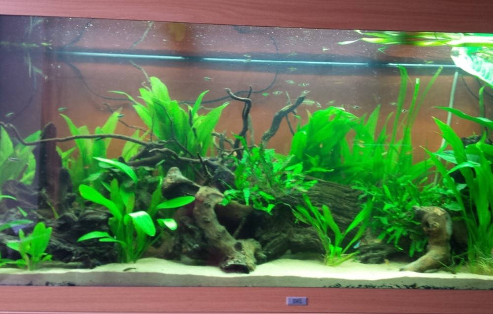 Remove Algae From Your Fish Tank